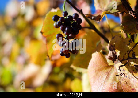 pinot noir grape on the grapevine, Ahr - Stock Photo