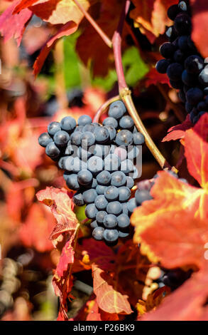 mellow pinot noir grape on the grapevine with coloured foliage, red wine area Ahr - Stock Photo