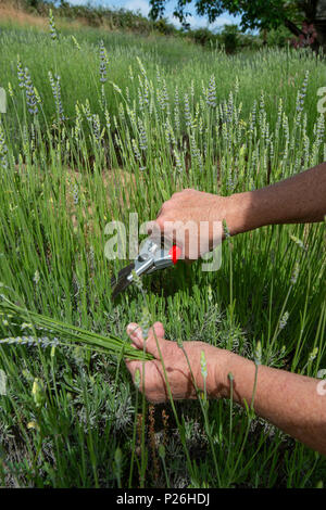 A pair of woman's hands harvests lavender with clippers. - Stock Photo