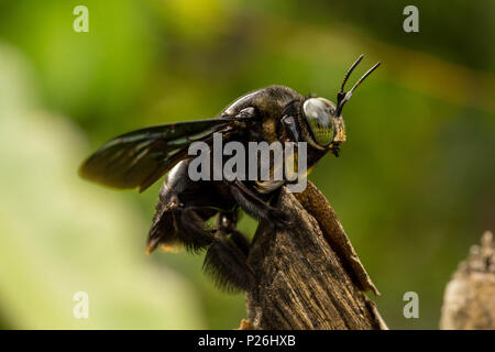 Black bumble bee resting on tree branch - Stock Photo