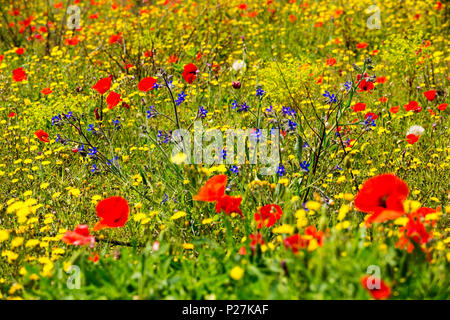 Poppies and other wild flowers in a fallow field, Roubia, Languadoc, France. - Stock Photo