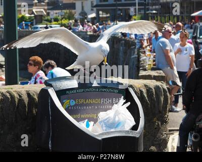 Seagull pulling out Fish and Chip wrappers from a Bin - Stock Photo