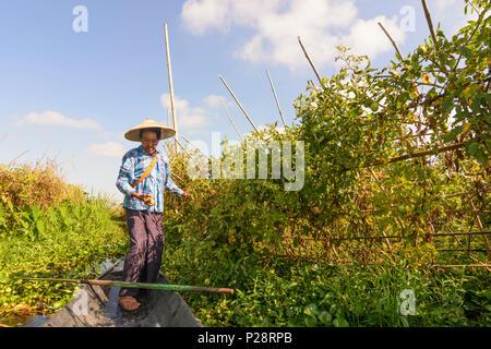 Maing Thauk, floating garden at Inle Lake, boat, woman harvesting tomato, Inle Lake, Shan State, Myanmar (Burma) - Stock Photo