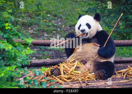 Giant Panda eating bamboo lying down on wood in Chengdu, Sichuan Province, China - Stock Photo
