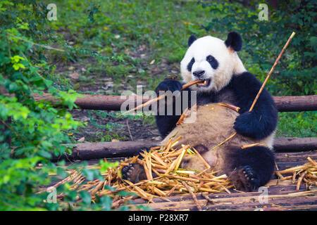 Giant Panda eating bamboo lying down on wood in Chengdu, Sichuan Province, China - Stock Photo