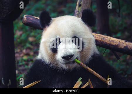 One adult giant panda eating a bamboo stick in close up portrait - Stock Photo