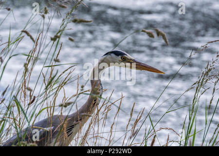 A Heron by a canal. The herons are the long-legged freshwater and coastal birds in the family Ardeidae - Stock Photo