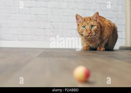 Cute ginger cat in the lurking. - Stock Photo