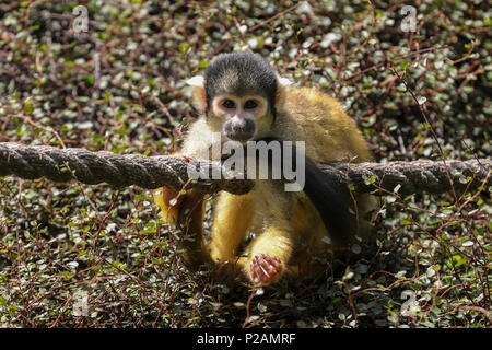 ZSL London Zoo, London, UK, 14th June 2018. Following a dull morning with occasional showers, the ZSL resident gang of cheeky squirrel monkeys clearly welcome the return of sunshine, rolling around in the greenery and lazing on top of dense shrubs. Credit: Imageplotter News and Sports/Alamy Live News - Stock Photo