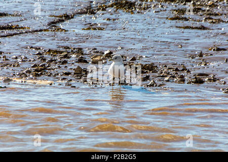 A solitary juvenile Common Gull (Larus canus) on the mudflats of the River Exe near Topsham, Devon, England, UK - Stock Photo
