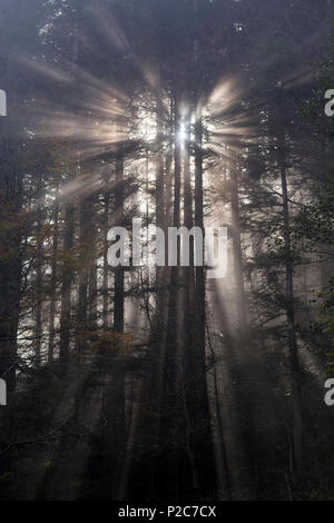 Rays of sunlight radiating through the branches of pine trees, Rigi Hochflue, Rigi Massif, foothills of Central Switzerland, can - Stock Photo