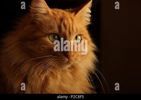 portrait of a longhaired ginger cat - Stock Photo