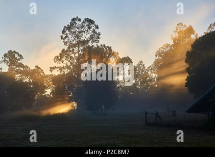 An early morning scene in a forest with the golden sunlight and mist creating silhouette of the trees - Stock Photo