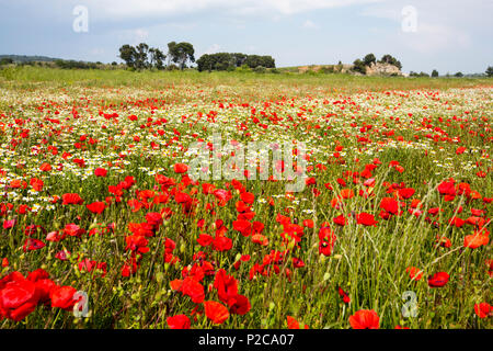 Poppies and other wild flowewrs in a fallow field near Roubia, Languadoc, France. - Stock Photo