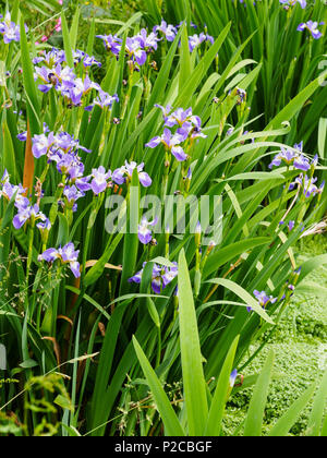 Blue and white early ummer flowers of the marginal aquatic hardy iris, Iris versicolor 'Rowden Cantata' - Stock Photo