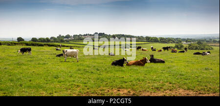 UK, Cornwall, St Cleer, Dairy Farming, cows lying down in field on hot summer day, panoramic - Stock Photo
