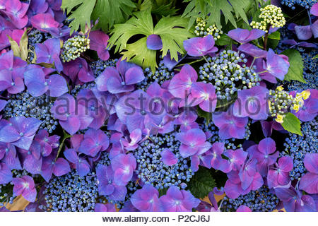 Hydrangea Macrophylla 'Kardinal violet' flowers pattern. - Stock Photo