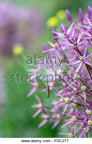 Tragopogon pratensis. Meadow Salsify flower seed heads caught in allium flowers - Stock Photo