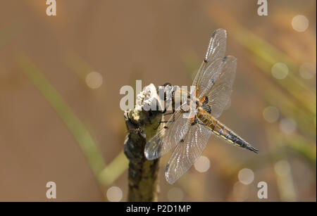 A stunning Four-spotted Chaser (Libellula quadrimaculata) perching on a stick at the edge of a pond. - Stock Photo