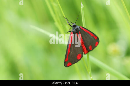 A beautiful Cinnabar Moth (Tyria jacobaeae) perching on a plant. - Stock Photo