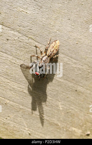 A small Fence-Post Jumping Spider (Marpissa muscosa) perching on a wooden fence with a fly in its talons which it has just caught and is eating. - Stock Photo
