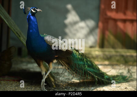 Duran the Peacock strutting his stuff in front of the pea hens - Stock Photo