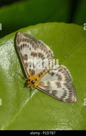 Small magpie moth (Anania hortulata), a member of the Crambidae family - Stock Photo