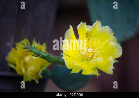 Yellow Prickly Pear Cactus flower close up isolated. - Stock Photo