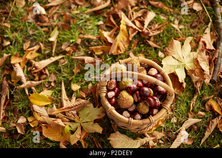 Bucket full of chestnuts between autumn leaves, Uffing, Staffelsee, Upper Bavaria, Bavaria, Germany - Stock Photo