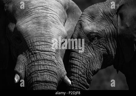 Two elephants mating in the forest - Stock Photo