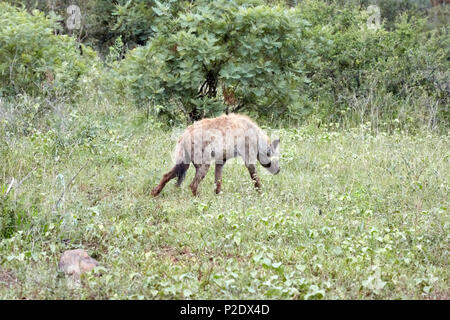 Hyena in Kruger National Park Game Reserve South Africa - Stock Photo