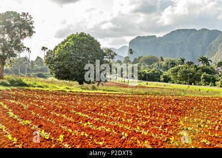 Tobacco plantation with small plants and Vinales  valley in the background, province, Pinar Del Rio, Cuba - Stock Photo