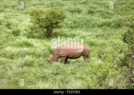 White Rhinoceros in Kruger National Park Game Reserve South Africa - Stock Photo