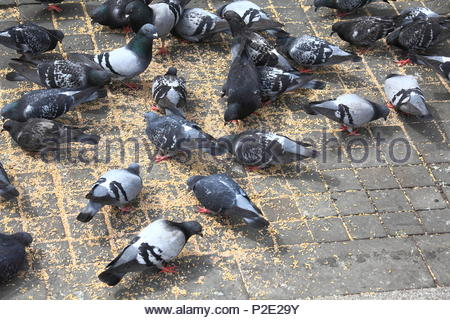 Feral pigeons eating corn on the street at Piccadilly Gardens Manchester City Centre summertime June 2018 - Stock Photo