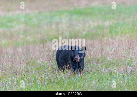 A North American Black Bear standing in a field in the Smoky Mountains with copy space.  He is facing the camera. - Stock Photo