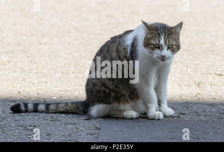Larry The Cat - (Felis Catus) is the UK Prime Minister's Cat (12 years old) pictured outside number 10 Downing Street - Stock Photo