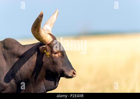 Heck cattle (Bos primigenius f. taurus) - Stock Photo