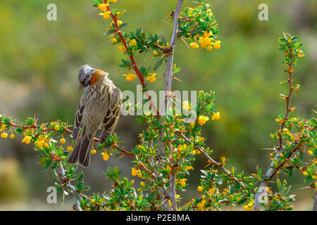 A rufous-collared sparrow is sitting on a branch of bushes in the Laguna Nimez, a protected area of wetlands in the Argentinian city of El Calafate. - Stock Photo