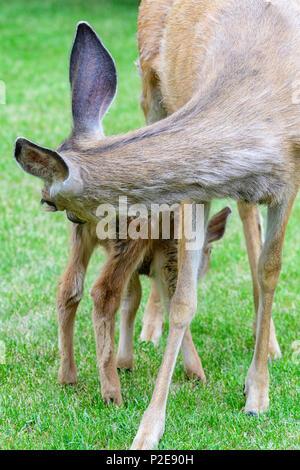 Female mule deer feeding and protecting her fawn in Alberta Canada