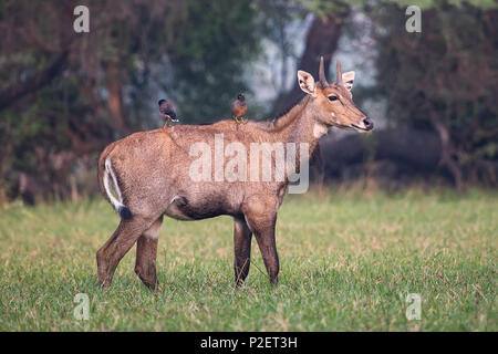 Male Nilgai with Brahminy mynas sitting on him in Keoladeo National Park, Bharatpur, India. Nilgai is the largest Asian antelope and is endemic to the - Stock Photo