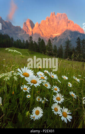Sunset, Meadow, Flowers, Summer, Mountains, Pale Di San Martino, Dolomites, Italy - Stock Photo
