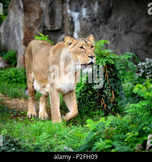 Lioness (Panthera leo) standing in green grass, looks out for prey - Stock Photo