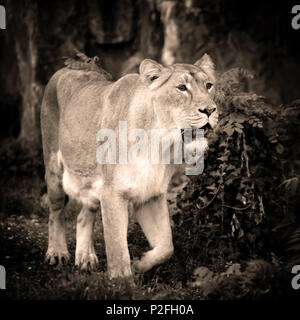 Lioness (Panthera leo) standing in green grass, looks out for prey. Art photo in sepia. - Stock Photo