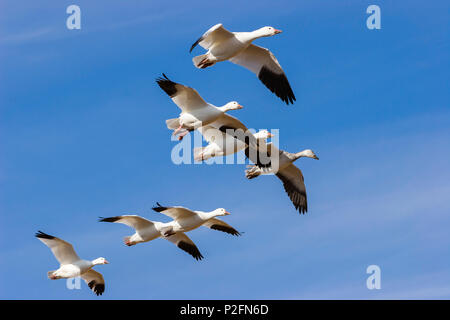 Snow Geese in flight, Anser caerulescens atlanticus, Chen caerulescens, Bosque del Apache Wildlife Refuge, New Mexico, USA - Stock Photo