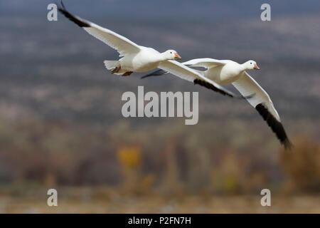Snow Geese, Anser caerulescens atlanticus, Chen caerulescens, Bosque del Apache Wildlife Refuge, New Mexico, USA - Stock Photo