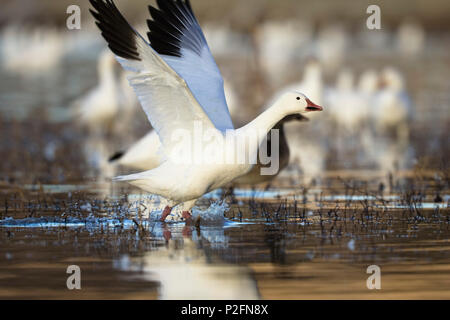 Snow Goose, Anser caerulescens atlanticus, Chen caerulescens, Bosque del Apache, New Mexico, USA - Stock Photo