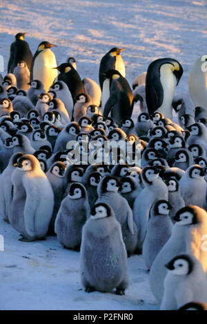 Emperor Penguin with chick, kindergarden, Aptenodytes forsteri, Antarctica - Stock Photo