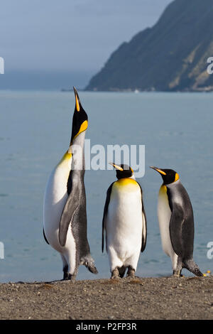 King Penguin calling, King Penguins, Aptenodytes patagonicus, Gold Harbour, South Georgia, Antarctica - Stock Photo