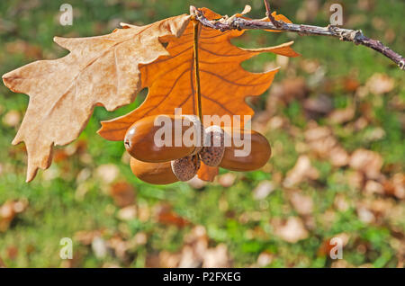 Oak twig with dry leaves and ripened acorns on a sunny autumn day - Stock Photo