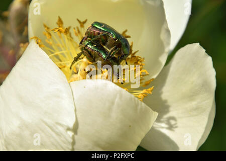 protaetia beetle male and female mate on white paeony, green golden shimmering beetles in peony flowers - Stock Photo